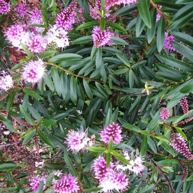 Pink flowered shrub