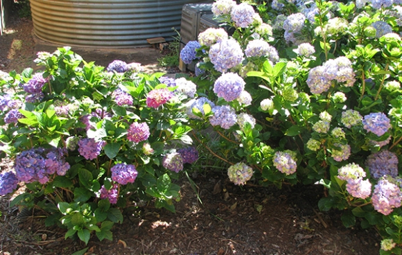 Hydrangeas going crazy