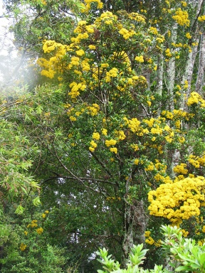 Yellow flowering rainforest tree