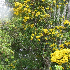 Yellow flowering rainforest tree