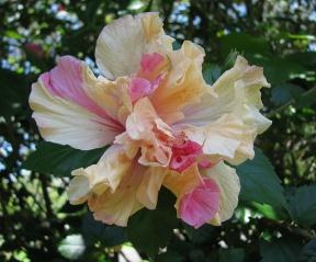 Hybrid hibiscus