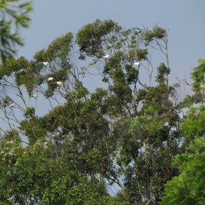 Cockatoos in trees