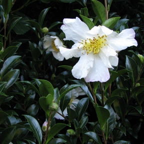 Close up white camellia