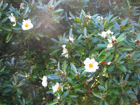 Gordonias starting to flower