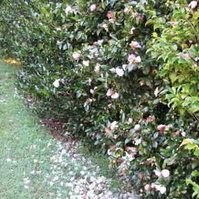 Light pink camellia bush