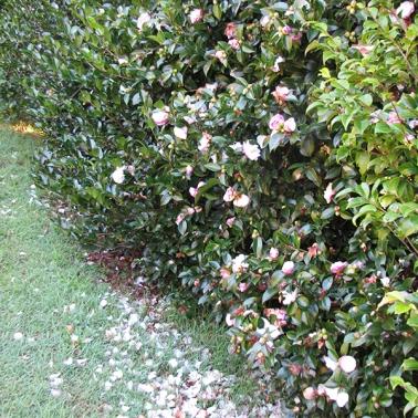 Light pink camellia bush